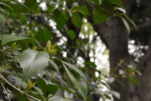トウネズミモチ,とうねずみもち,葉っぱ