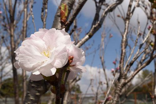 樹高,アマノガワ,桜