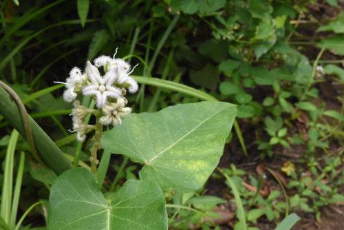 ケセランパサランの植物