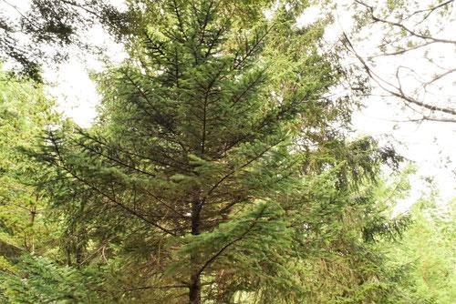 イラモミの木