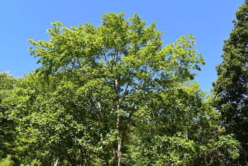 樹木 シオジ
