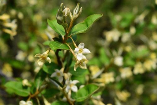 トウグミの花,ビックリグミの花