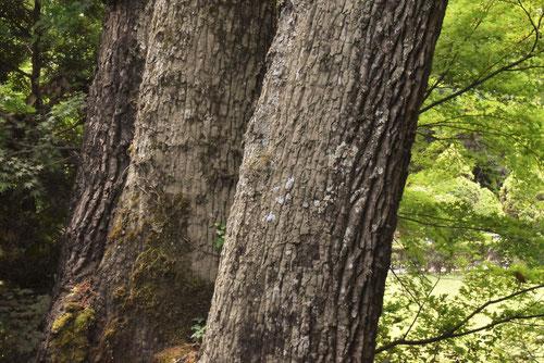 橡,樹皮,幹,図鑑