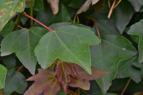 トウカエデの葉,写真