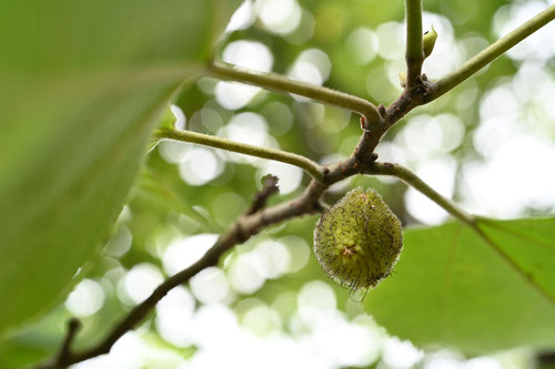 梶の木の実