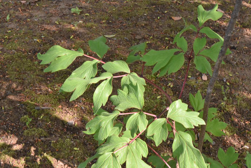 Peony,leaf