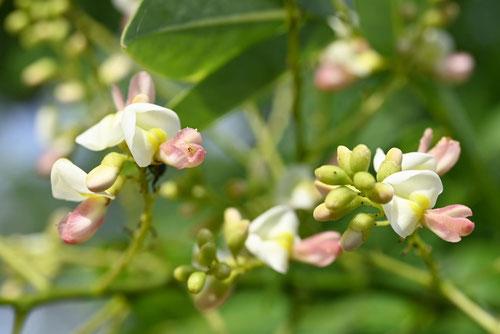 槐の花,時期