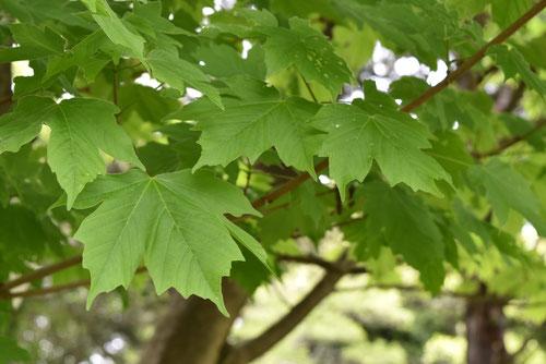 オニモミジ,カジカエデ,葉っぱ