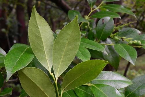 シャシャンボウ,樹木