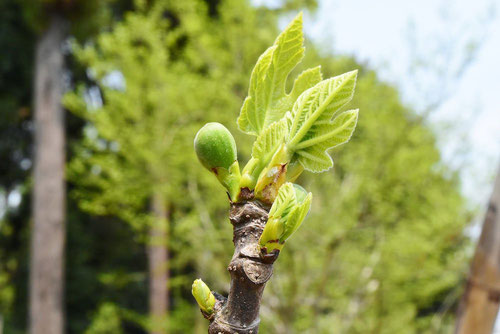 Fig tree,new leaf