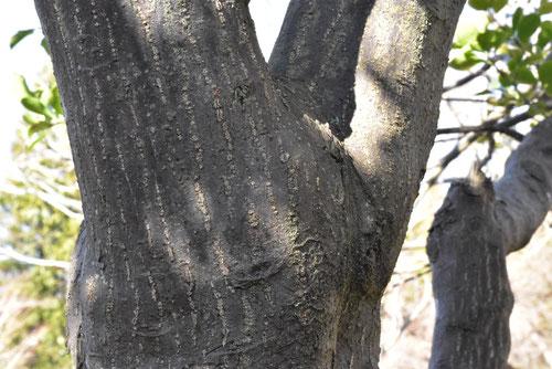 柾,木肌,幹