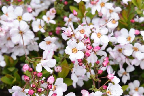 雪柳,ピンク花