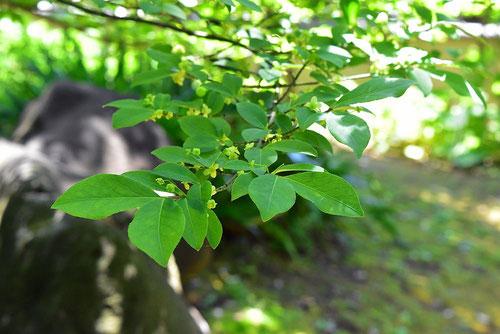 コマユミ,葉っぱ,画像