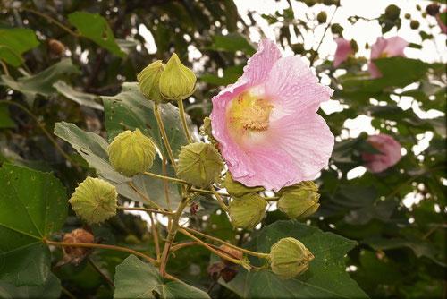 花の時期 フヨウ 種類