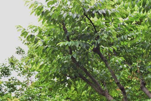 ネコノチチ,庭木