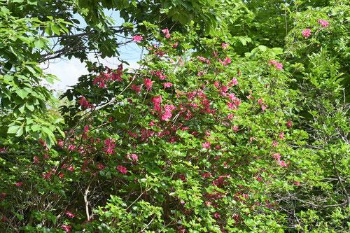 渋川つつじ,開花
