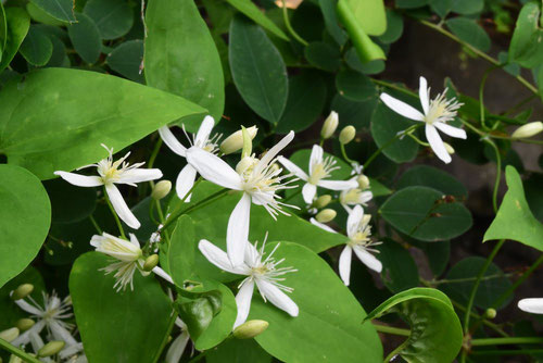 山野草 白い花
