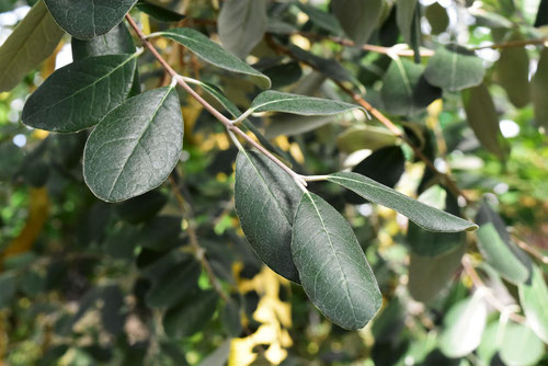 feijoa leaf