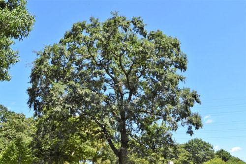 秋楡 樹木図鑑