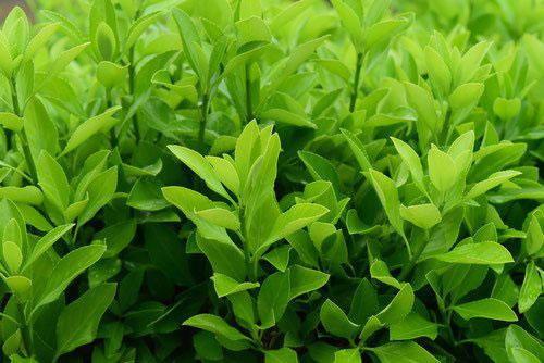 まさき 植木 種類