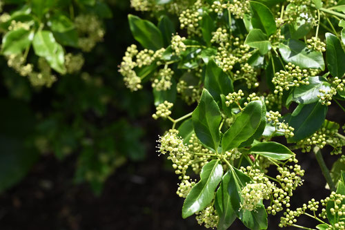 Climbing euonymus,flower