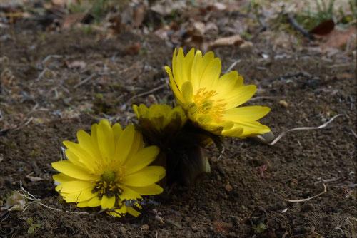 ふくじゅそう,花