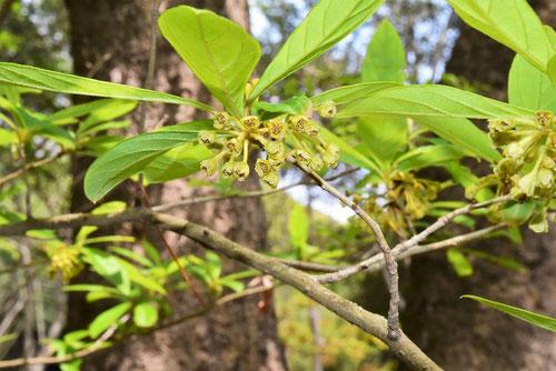 カナクギノキ 花