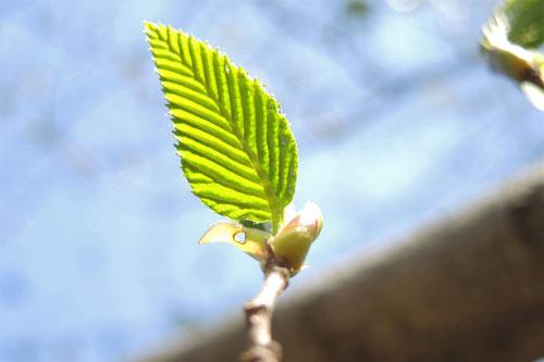ヤシャブシの木の葉