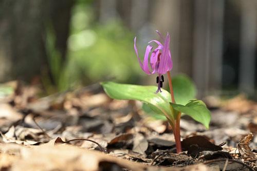 山野草 青紫色の花