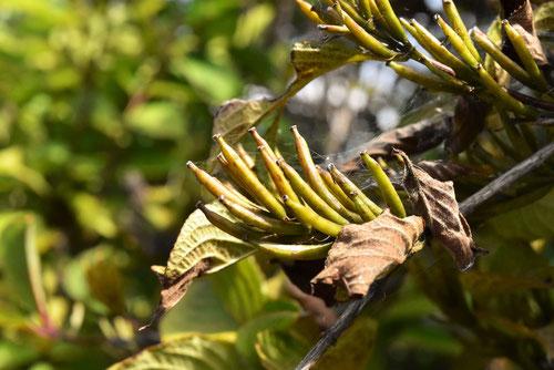ベニウツギの種子