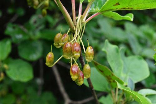 サラサドウダン 実 種