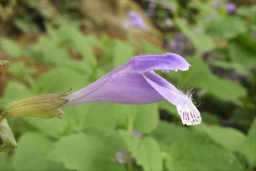 青紫の野草