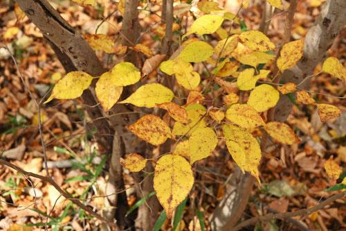 油瀝青の木,紅葉