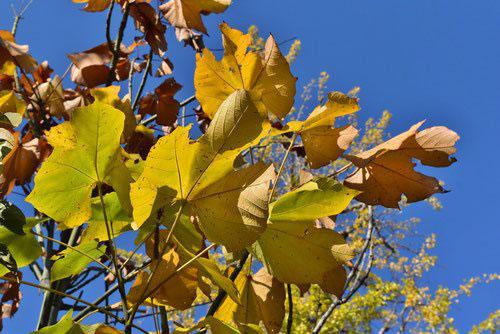 アオギリの紅葉 黄葉
