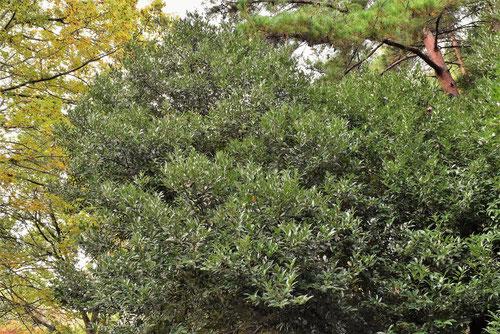 ヤブニッケイ 樹形