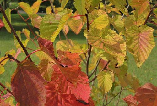 ハンカチノキの紅葉 黄葉