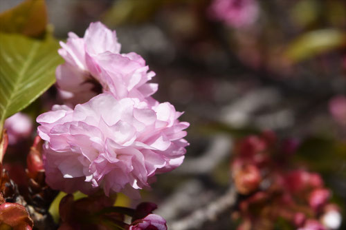 イモセ桜,いもせ