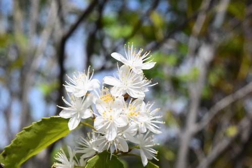 ハイノキの花 開花時期