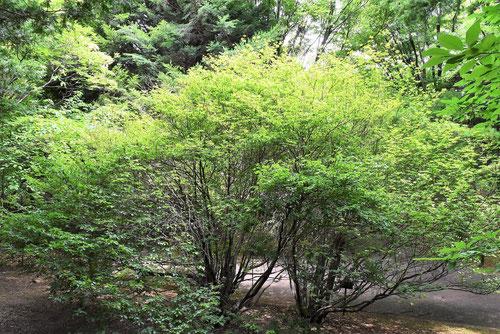 ホウキヤシオ 樹形