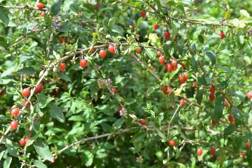 くこ,木の実,特徴