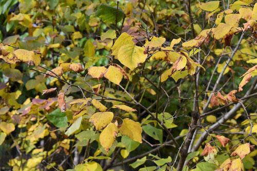 ライラック 紅葉 黄葉