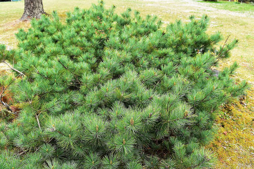 siberian creeping pine,picture
