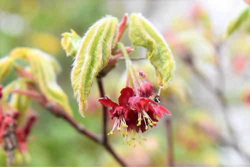 ハウチワカエデの花 画像