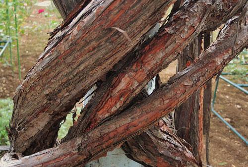 幹は褐色で若い枝は緑色