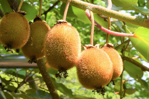 Kiwi fruits,picture