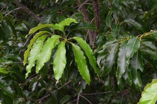 クヌギの葉っぱ,画像