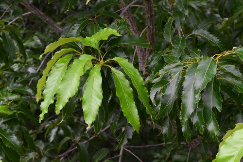 クヌギの葉っぱ,画像,くぬぎ