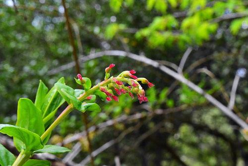 毒空木の花 画像