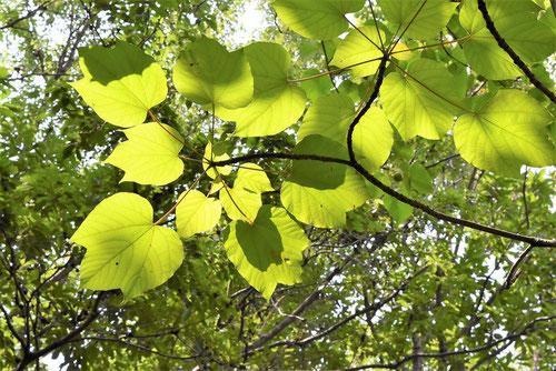 アブラギリ,葉っぱ