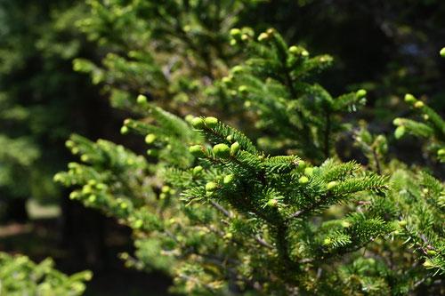 Sakhalin spruce